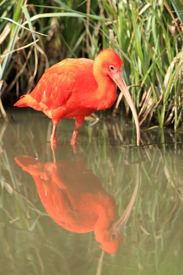 Download Szkarłatny ibis obraz stock. Obraz złożonej z brodziec - 25969029