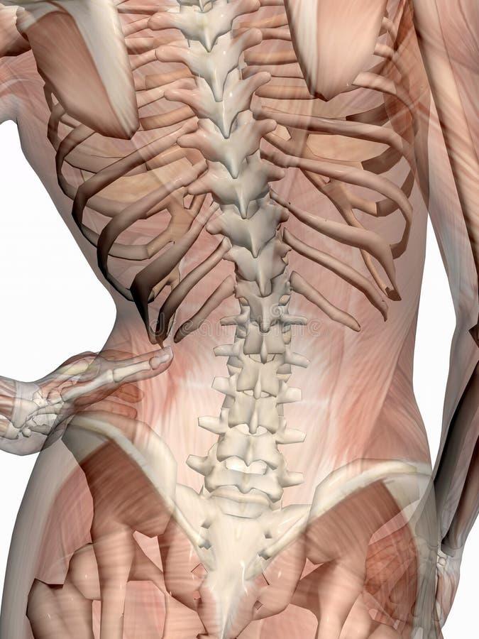 szkielet transparant mięsne anatomie royalty ilustracja