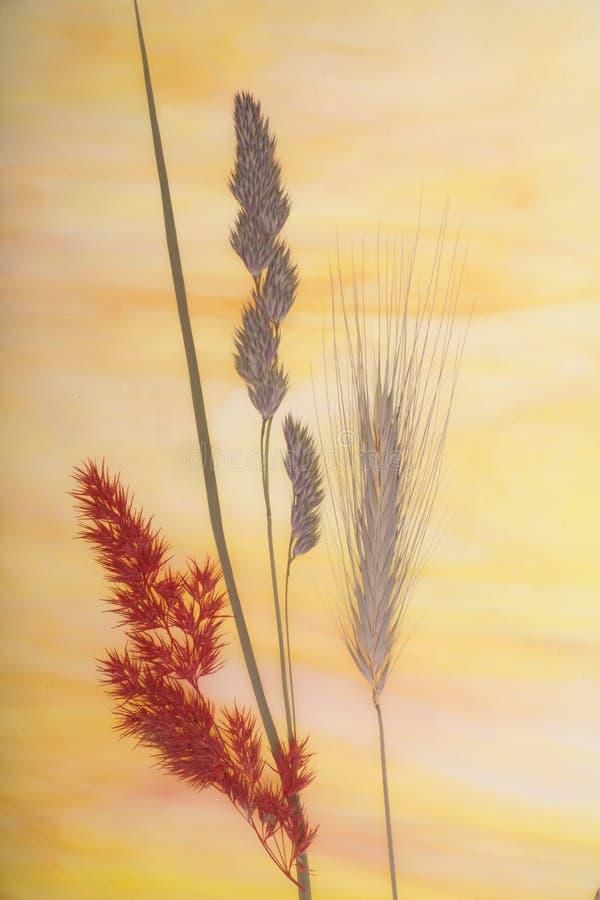 szklana suszone trawy. obrazy royalty free