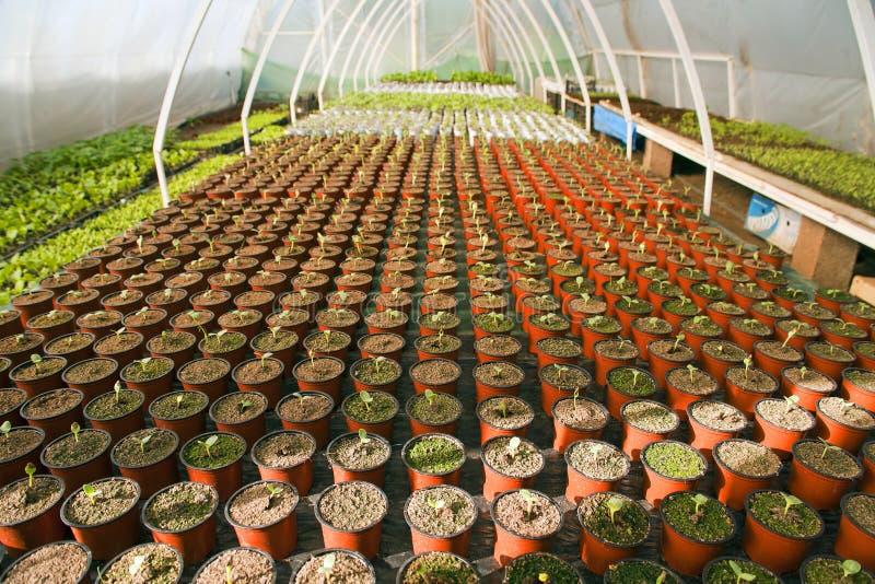 Szklarnia dla warzyw - arbuz fotografia royalty free