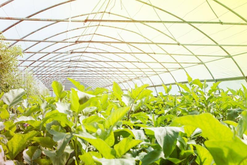 szklarnia organicznie Młode rośliny r w bardzo wielkiej roślinie w handlowej szklarni zdjęcie royalty free