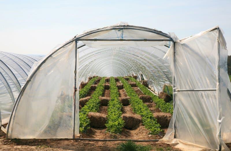 Szklarnia z truskawkowymi roślinami zdjęcia stock