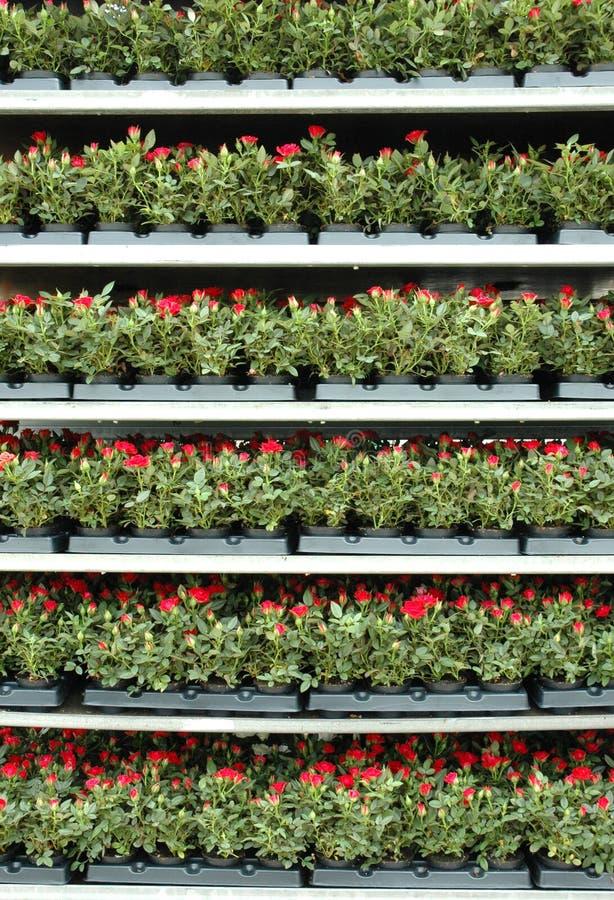 szklarniane róże obraz royalty free