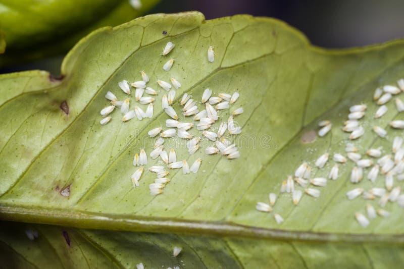 Szklarnianego whitefly infestation na cytrusa liściu zdjęcia stock