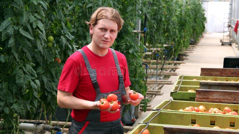 szklarniany mienia pomidorów pracownik obrazy royalty free