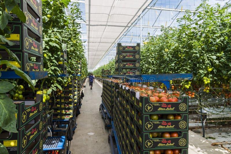 Szklarniany pracownika pomidor Harmelen obrazy stock