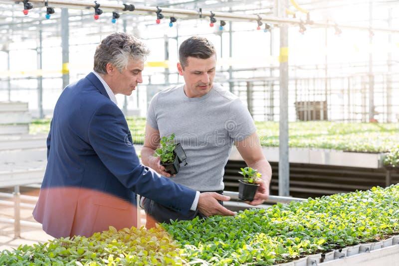 Szklarniany właściciel dyskutuje nad zielarskimi rozsadami z botanikiem w rośliny pepinierze fotografia royalty free