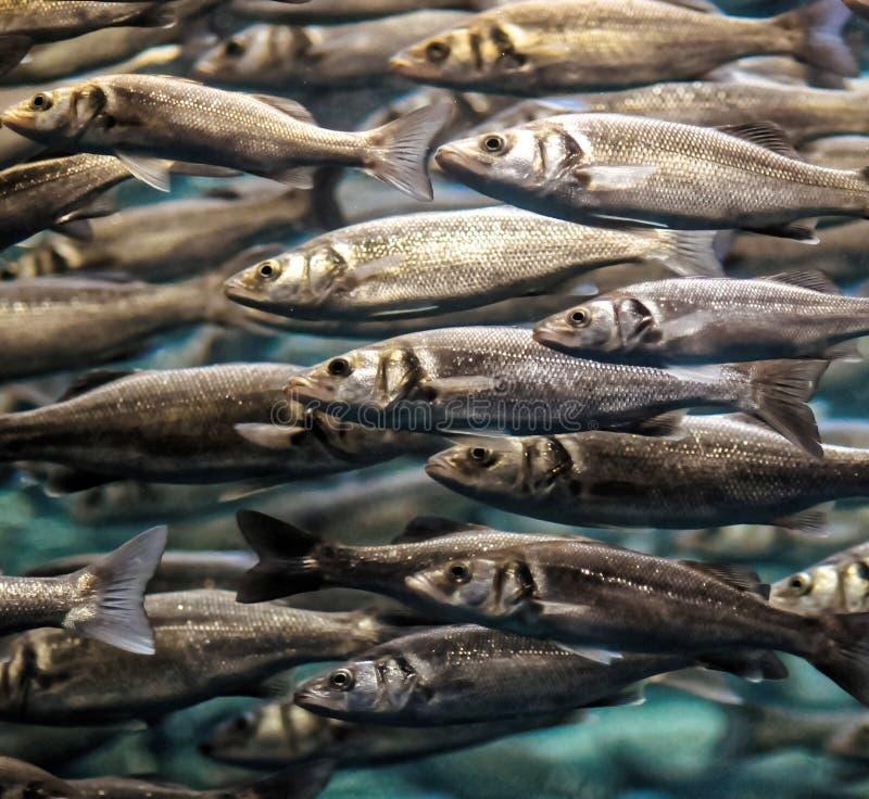 Szkoła Srebnych szarość ryba obrazy royalty free