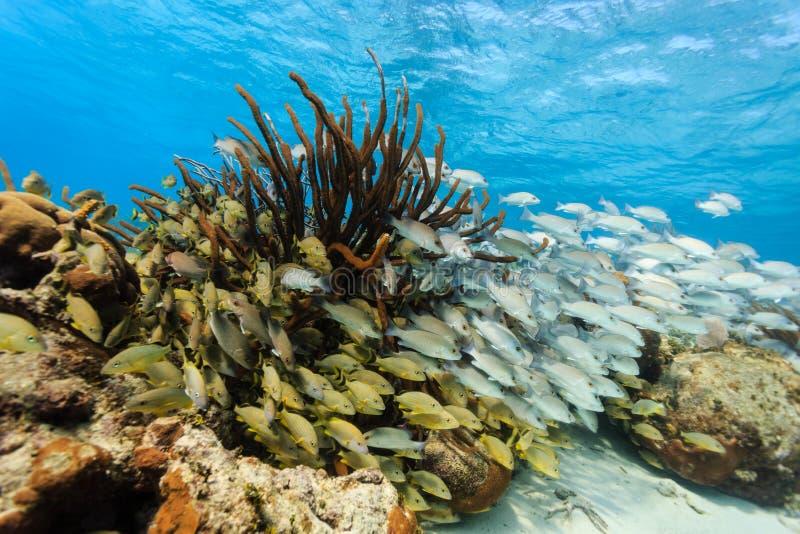 Szkoła kolorowa ryba na rafie koralowa w Hol Chan zdjęcia stock