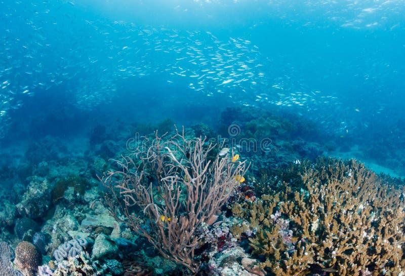 Szkoła sardynki pływa nad tropikalną rafą koralowa na zmroku aft zdjęcia royalty free