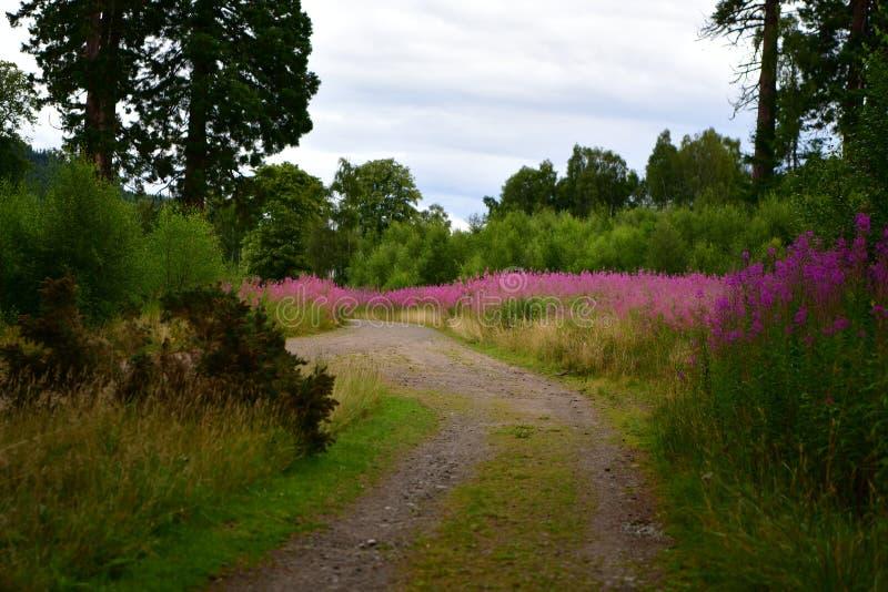 Szkoccy lasy, jesień, purpura kwitną obraz royalty free