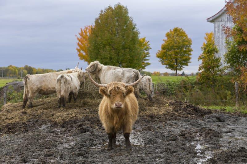 Szkocka Górska kosmata czerwona krowy pozycja w błotnistym polu zdjęcia royalty free