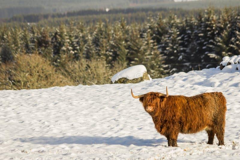 Szkocka górska krowy pozycja w śniegu z lasem behind zdjęcie royalty free