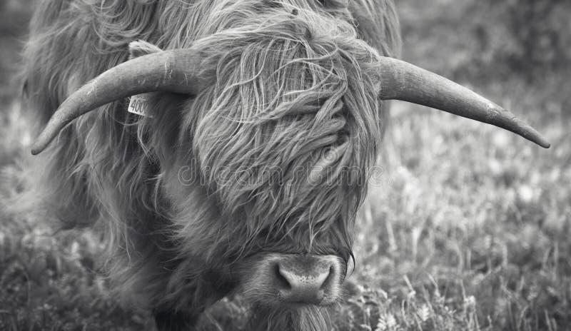 Szkocka krowa w Lewis wyspie cholery UK zdjęcia royalty free