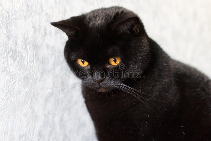 Szkocki czarny kot z złocistymi oczami obraz stock