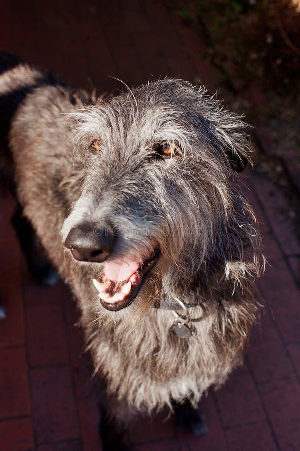 Szkocki Deerhound obrazy stock