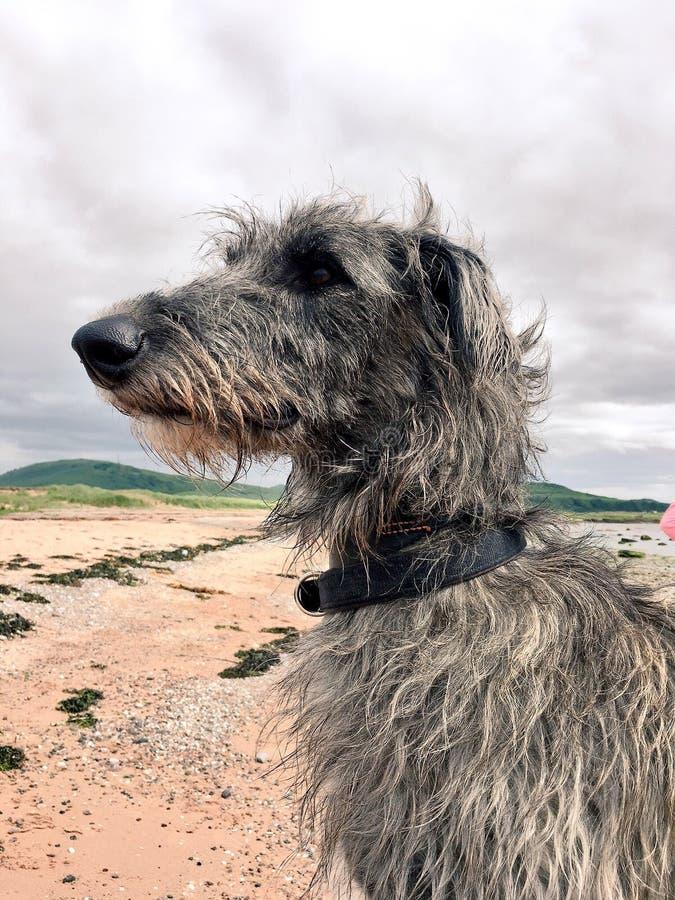Szkocki Deerhound fotografia royalty free