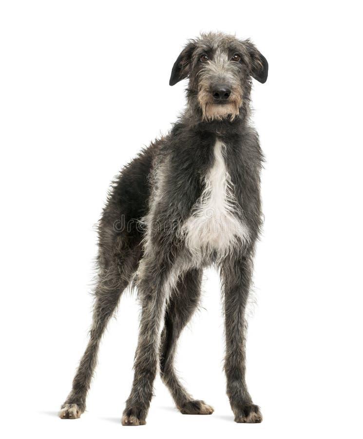 Szkocki Deerhound patrzeje kamerę zdjęcia royalty free