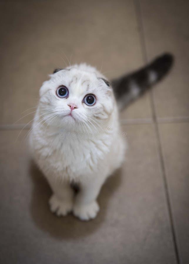 Szkocki fałd z niebieskimi oczami obraz stock