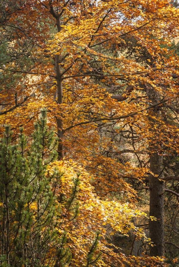 Szkocki Jesienny ulistnienie zdjęcie stock