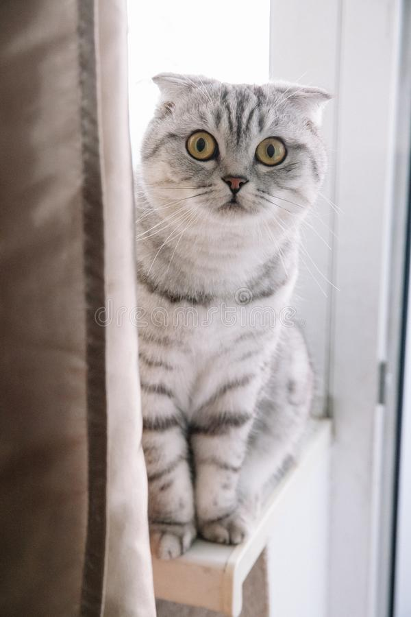 Szkocki kot na windowsill i patrzeje w górę Kłapouchy kot z szarość kolorem obrazy stock