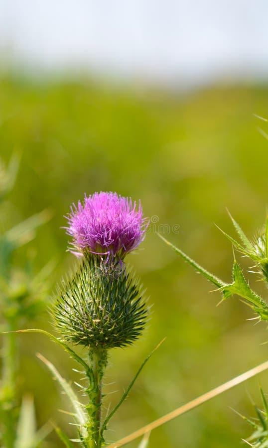 Szkocki osetu kwiat z copyspace zdjęcie stock