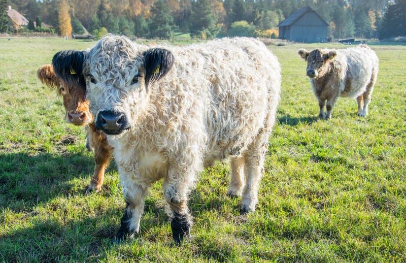 Szkockie górskie krowy na paśniku obraz royalty free