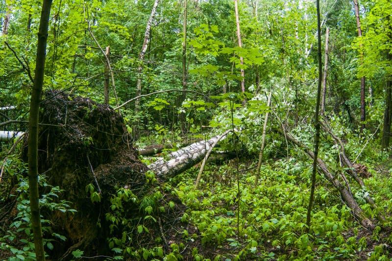 szkoda spadać lasowi burzy drzewa zdjęcie stock