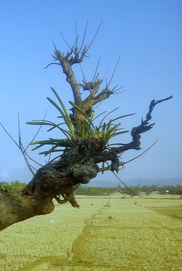 Szlachetność drzewo obrazy royalty free