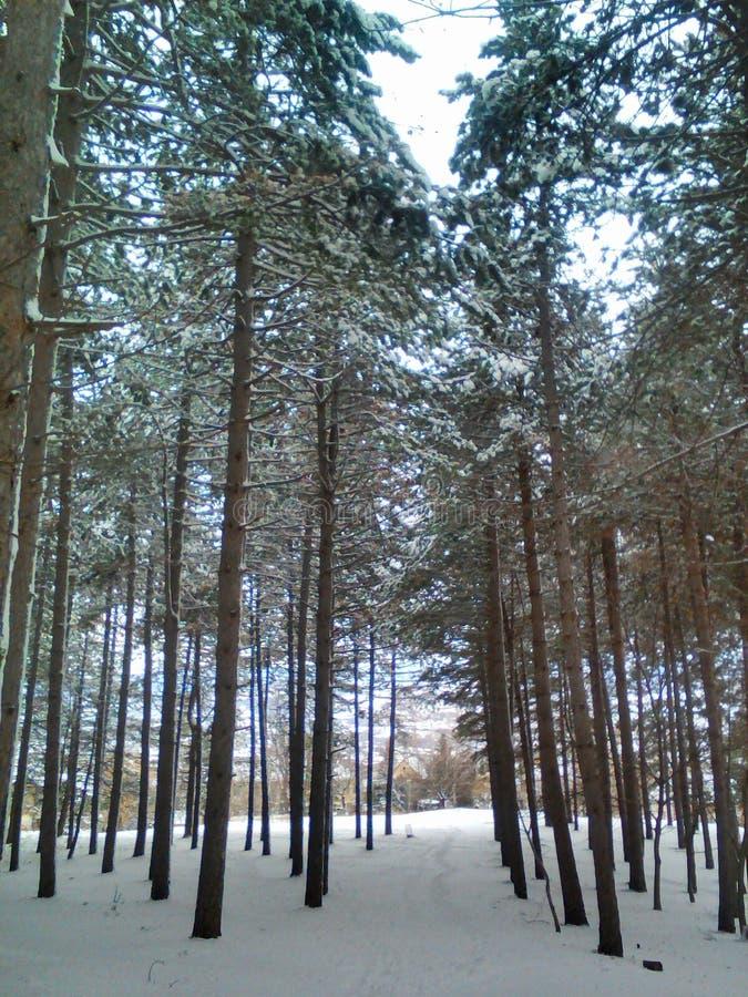 Szlakowy sosnowy las w zimie zdjęcia stock