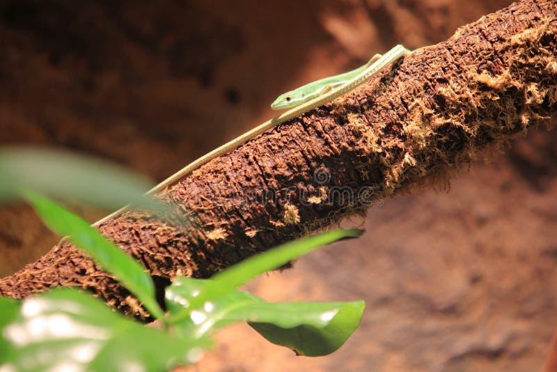 Szmaragdowa długoogonkowa jaszczurka zdjęcia stock