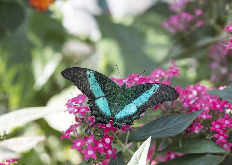 Szmaragdowy swallowtail papilio palinurus zdjęcie stock