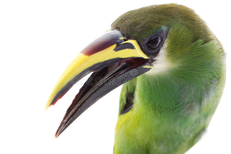 szmaragdowy toucanet zdjęcia royalty free