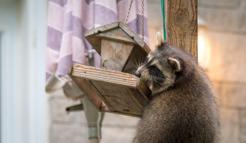 Szop pracz & x28; Procyon lotor& x29; na ptasim dozowniku, wschodni Ontario Zamaskowani ssaków spojrzenia dla i znaleziska łatwy  zdjęcia stock