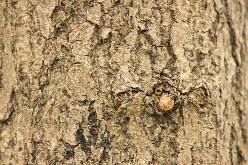 Szorstka barkentyna, żyłkowana barkentyna obrazy royalty free