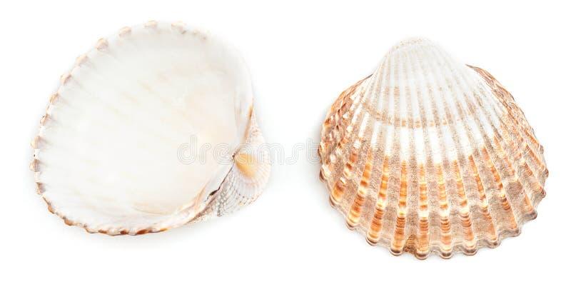 Szorstki Cockle Shell (Acanthocardia Tuberculata) obrazy stock