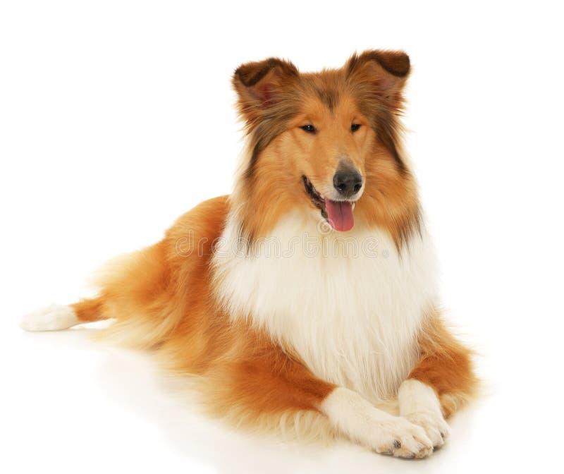 Szorstki Collie pies obraz stock