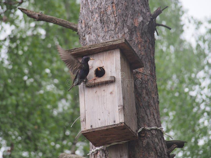 Szpaczek blisko birdhouse Sztuczny bird& x27; s gniazdeczko fotografia royalty free