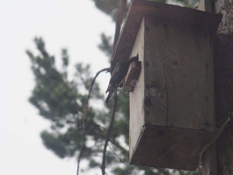 Szpaczek blisko birdhouse Sztuczny ptaka gniazdeczko zdjęcia stock