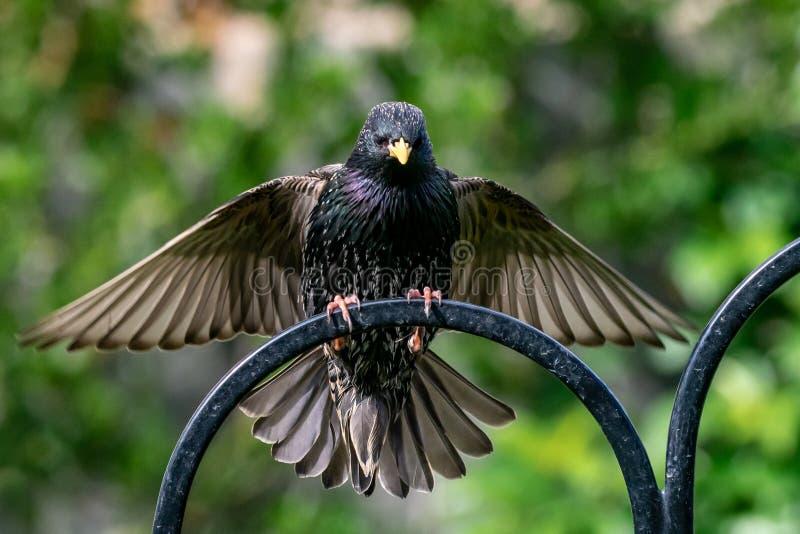 Szpaczka Sturnus vulgaris dziki ptasi lądowanie na ramie ogrodowy dozownik zdjęcia royalty free