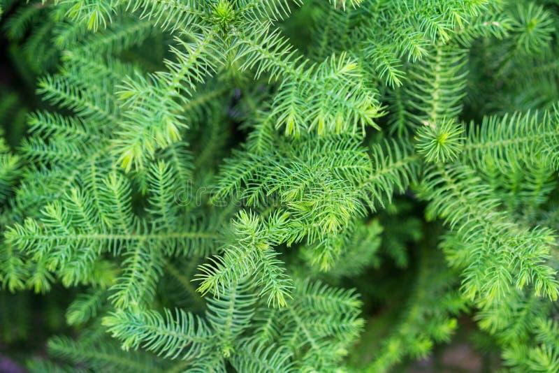 Szparagowy Sprenger, gustotsvetkovy delikatny maswerk gałąź, często używany dla dekoracji bukiety zdjęcia stock