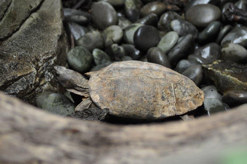 Szpieguję żółwia zdjęcie stock