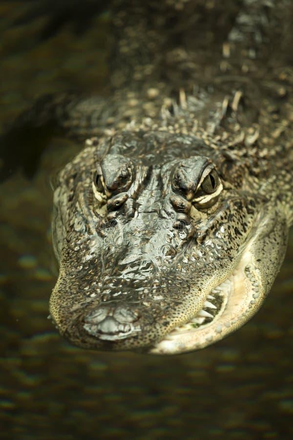 Szpotawy aligator zdjęcia royalty free