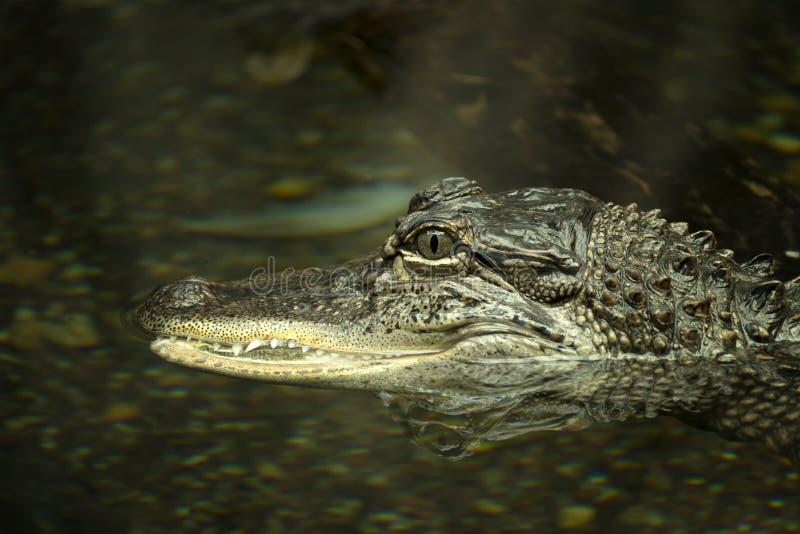Szpotawy aligator zdjęcie stock