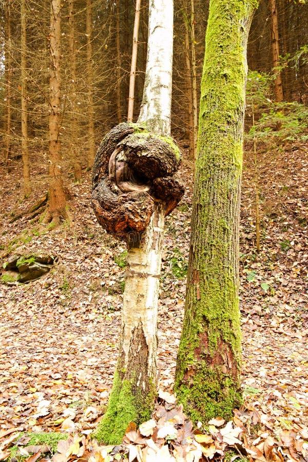Szpotawy bagażnika drzewo zdjęcia stock