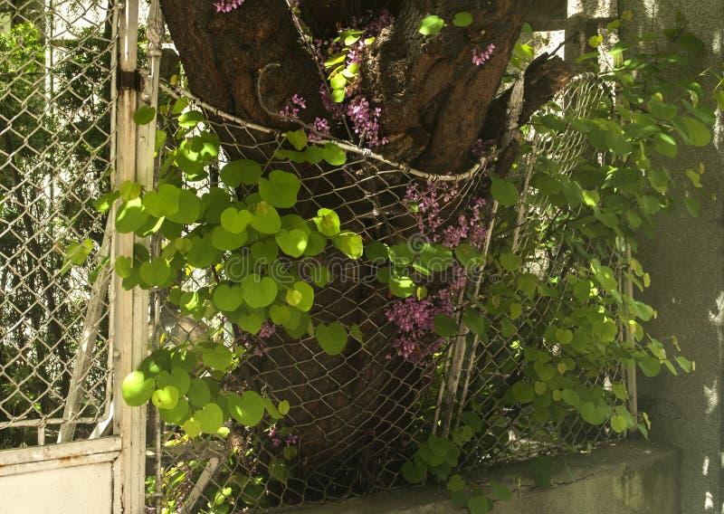 Szpotawy ogrodzenie drzewny przyrost fotografia stock