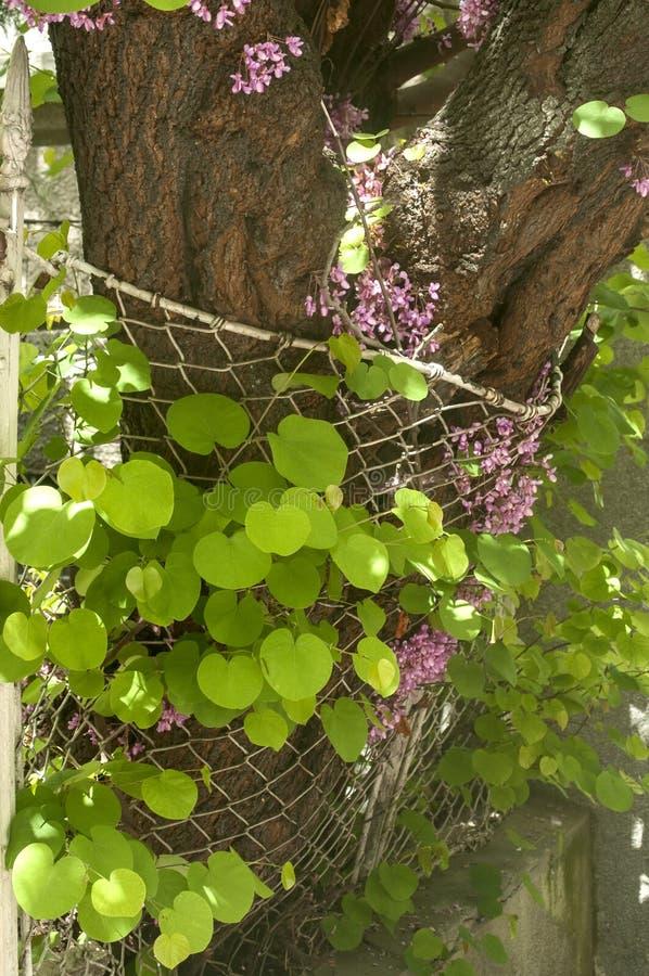 Szpotawy ogrodzenie drzewny przyrost zdjęcia stock