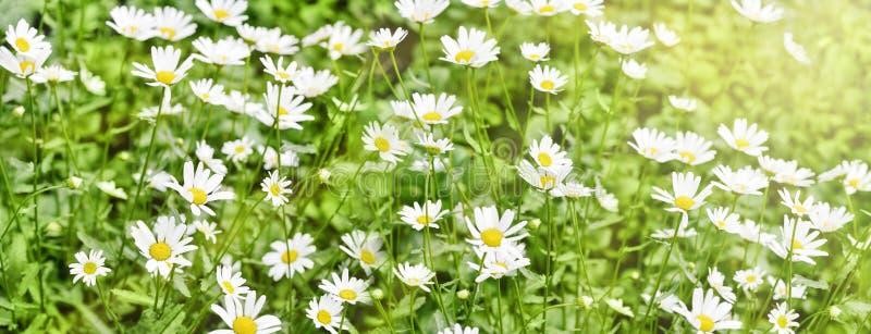 Sztandar chamomile pole białe piękne stokrotki obrazy stock