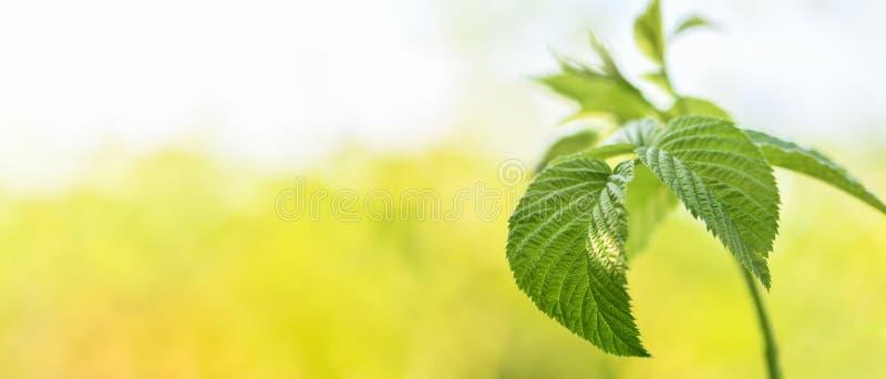 sztandar Malinki gałąź z zielenią opuszcza w górę ogródu w zdjęcie royalty free