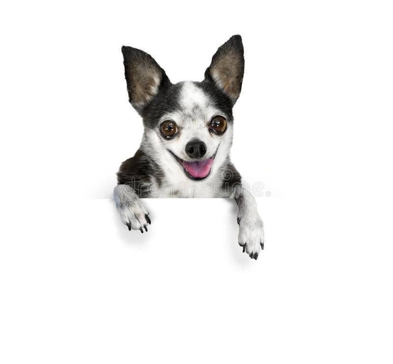 sztandaru pies